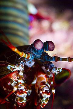 160l recifal 240px-Mantis_Shrimp