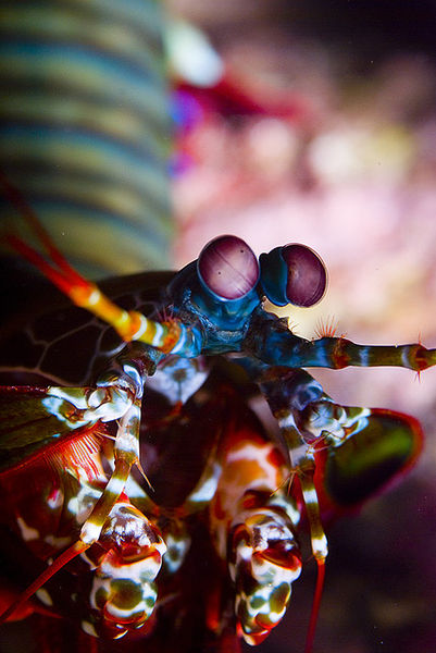 File:Mantis Shrimp.jpg