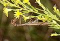 Mantis religiosa comiéndose una avispa (5119538811).jpg
