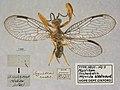 Mantispa (Trichoscelia) sequella (10.3897-zookeys.823.30231) Figure 71.jpg