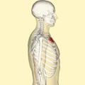 Manubrium lateral.png