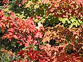 Maple leaves (6166383865).jpg