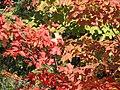 Maple leaves (6166383865).jpg