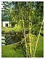 March Spring Bambus Botanischer Garten Freiburg - Master Seasons Rhine Valley Photography 2013 - panoramio (2).jpg