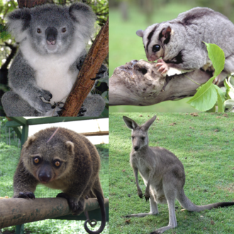 Diprotodontia - Image: Marsupialia collage