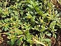 Mecardonia procumbens 05a.JPG