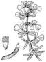 Medicago monspeliaca - Coste.png