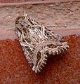 Mediterranean Brocade .Spodoptera littoralis. Noctuidae - Flickr - gailhampshire.jpg