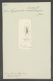 Megaproctus - Print - Iconographia Zoologica - Special Collections University of Amsterdam - UBAINV0274 030 05 0015.tif