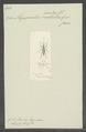 Megaproctus - Print - Iconographia Zoologica - Special Collections University of Amsterdam - UBAINV0274 030 05 0015.tif