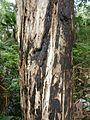 Melaleuca quinquenervia Wyrrabalong NP 2.jpg