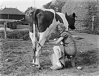 Melkmeid Dutch girl milks a cow.jpg