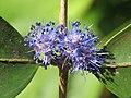 Memecylon umbellatum flowers at Peravoor (29).jpg