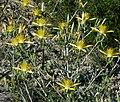 Mentzelia laevicaulis 10.jpg
