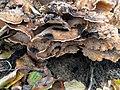 Meripilus giganteus 100269016.jpg
