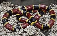 Texas Coral Snake Micrurus tener