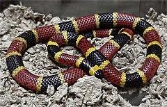 Catégories de Serpents dans SERPENT 240px-Micrurus_tener