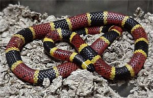 Deception in animals - A venomous coral snake
