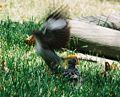Mockingbird Feeding Chick006.jpg