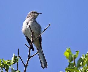 Mockingbird Taking a Break.jpg