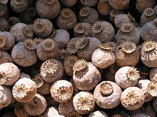 Mak siaty (Papaver somniferum) - makovice (plody)
