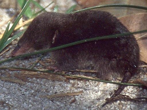 Mole-like Rice Tenrec (Oryzoryctes hova) (44120142915) 2