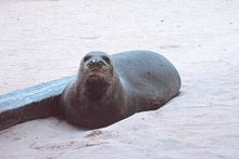 Photo of seal on the beach, looking directly at the photographer