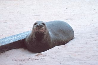 Hawaiian monk seal - Hauled-out seal on Laysan Island