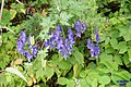 Monkshood (PL) (31927763243).jpg