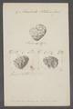 Monodonta tectum - - Print - Iconographia Zoologica - Special Collections University of Amsterdam - UBAINV0274 082 21 0007.tif