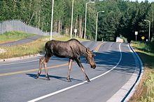 Un esemplare di alces alces mentre attraversa una strada in Alaska