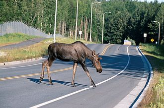 Roadkill cuisine - Moose crossing a road, Alaska, United States