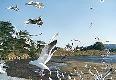 Larus occidentalis em Morro Bay, na Califórnia, nos Estados Unidos