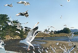 Morro Bay California seagulls.jpg