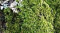 Moss on pine tree 3.jpg