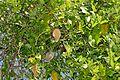 Moth Vine (Araujia sericifera) (26688940425).jpg