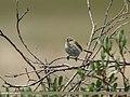 Mountain Chiffchaff (Phylloscopus sindianus) (36908587236).jpg