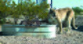 Mountain lion cougar animal in urban area puma concolor.jpg
