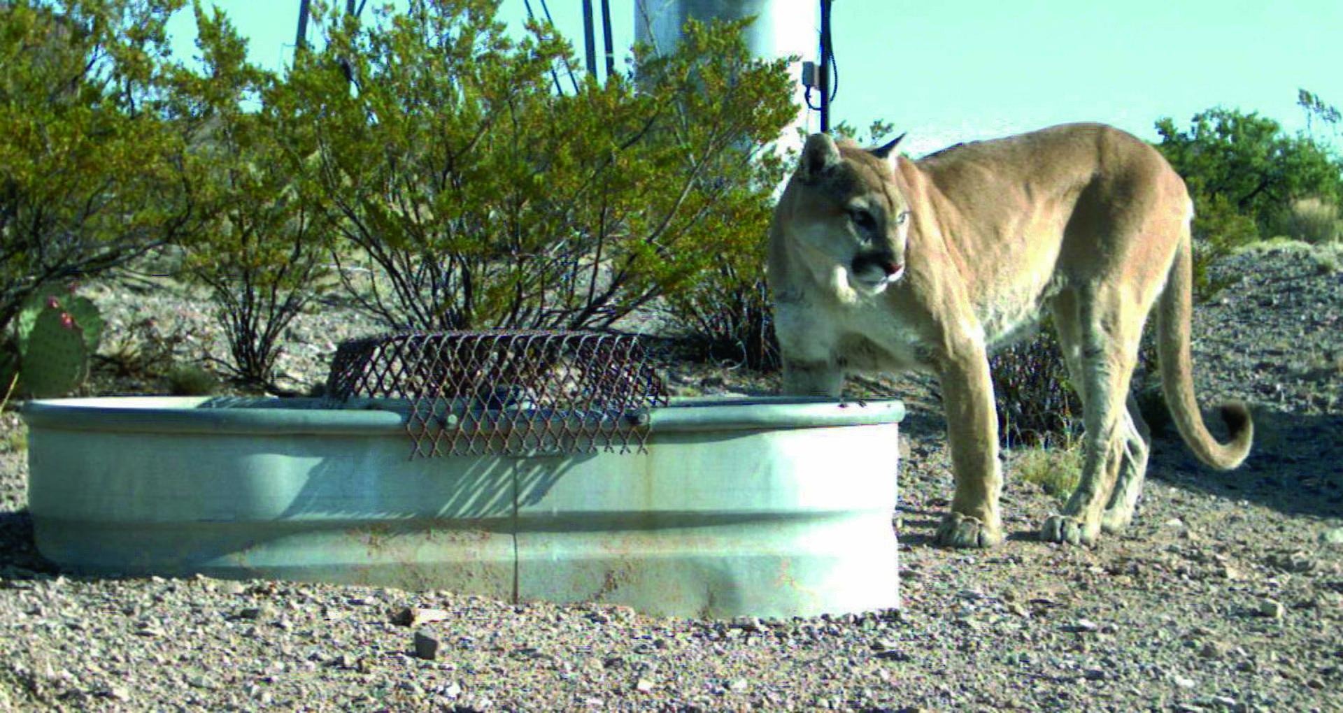 Mountain lion cougar animal in urban area puma concolor.jpg
