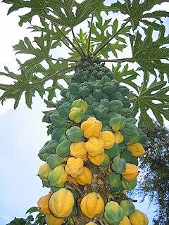 descripcion de la planta papaya