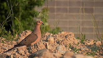 Mourning dove - In Guelph, Ontario, Canada.