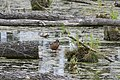 Mueritz Sumpf im Wald 3.JPG