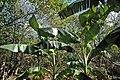Musa acuminata - banana trees (Watling's Well Banana Hole, San Salvador Island, Bahamas) 3 (16242298967).jpg