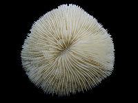 Mushroom Coral (Fungia) Top Macro 91.JPG