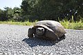 NASA Kennedy Wildlife - Gopher Tortoise.jpg