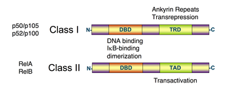 NF-κB - Image: NFKB structure schematic