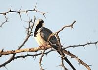 Namaqua Dove male