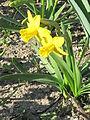 Narcissus 'Tête-à-Tête' (Jardin des Plantes de Paris) closeup.jpg