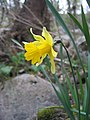 Narcissus asturiensis.jpg