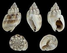 Nassarius coronatus 02.jpg